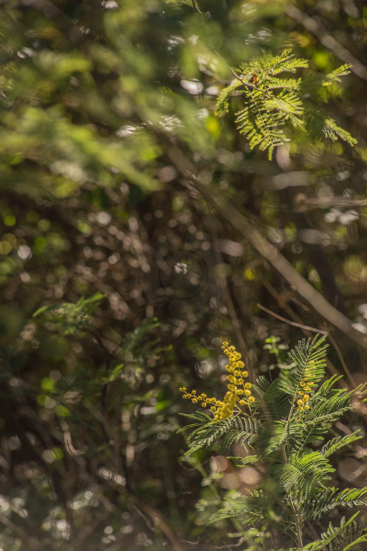 149-le-mimosa-dans-lesterel-fev-2017-1920-px