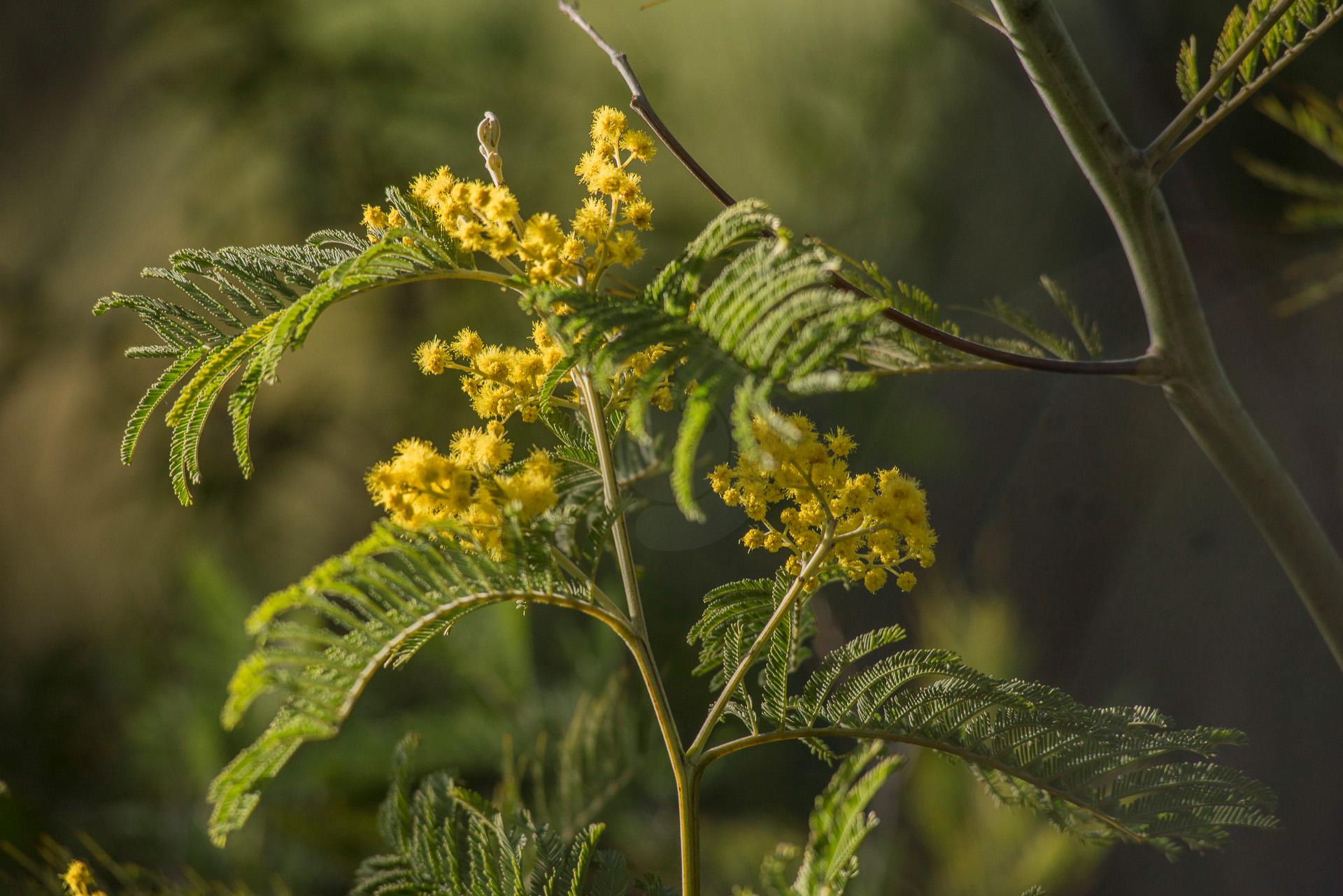 161-le-mimosa-dans-lesterel-fev-2017-1920-px